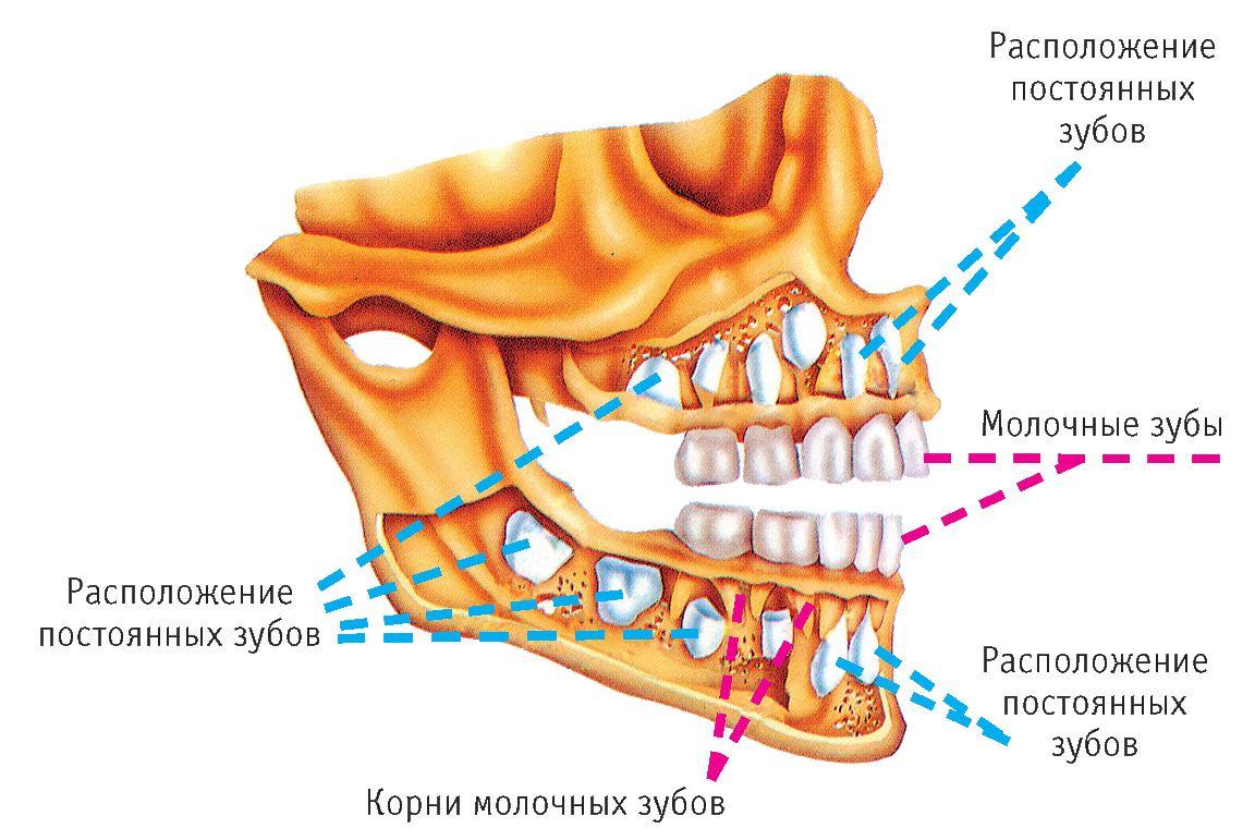 Строение детского зубочелюстного аппарата