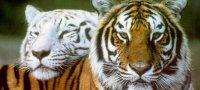 Совместимость женщины и мужчины Тигров в любовных, дружеских и рабочих отношениях