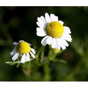 Лекарственные растения  Ромашка аптечная фото