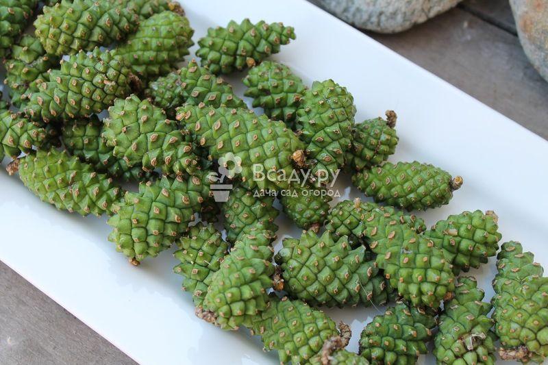 Зеленые сосновые шишки для варенья