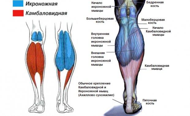 Анатомия икроножной мышцы