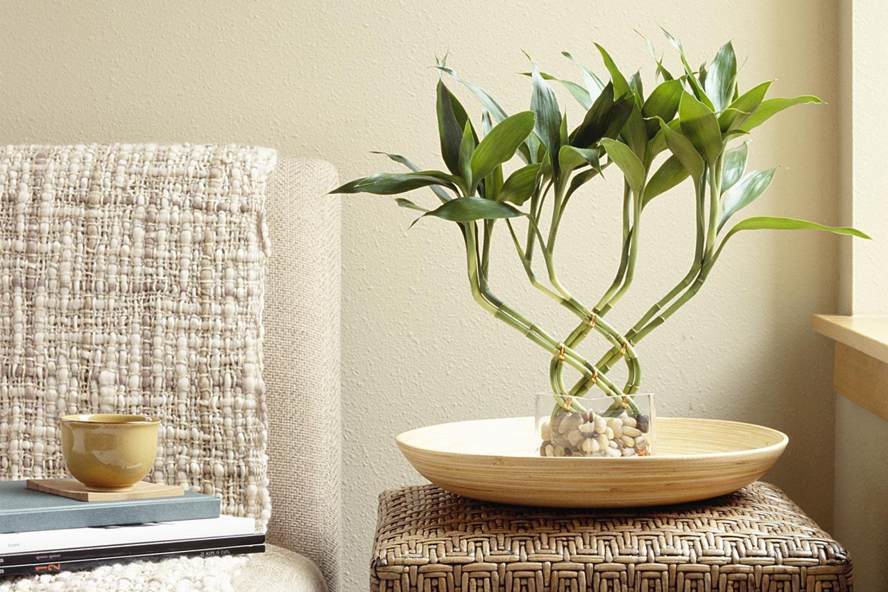 Бамбук дома как ухаживать