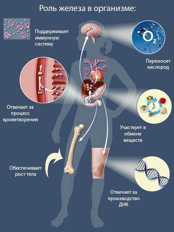 Роль железа в организме человека