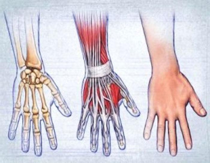Строение кисти руки человека