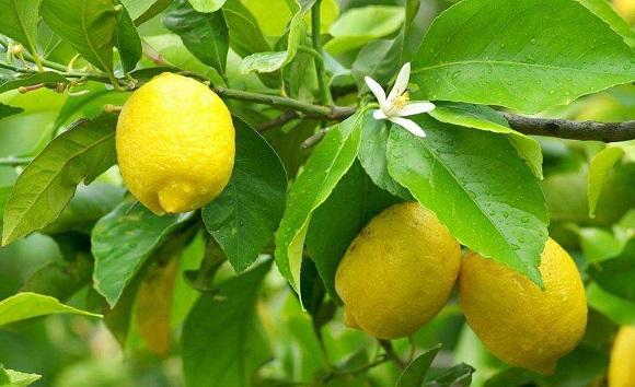 Павловский оранжерейный лимон