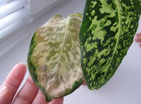 Часто садоводы сталкиваются с тем, что листья у диффембахии начинают сохнуть, желтеть и деформироваться