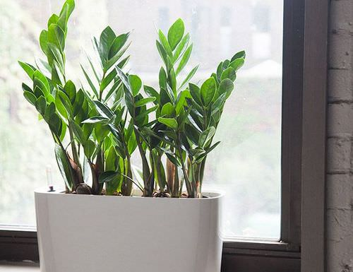 Размножение замиокулькаса в домашних условиях может осуществляться несколькими методами